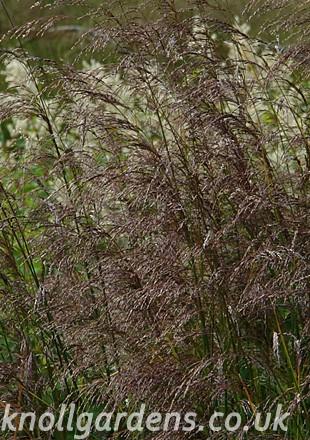 Deschampsia-Schottland025.jpg
