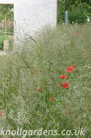 Deschampsia-cespitosa10101401.jpg