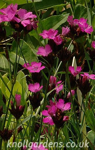 Dianthus-carthusionorum9929a.jpg