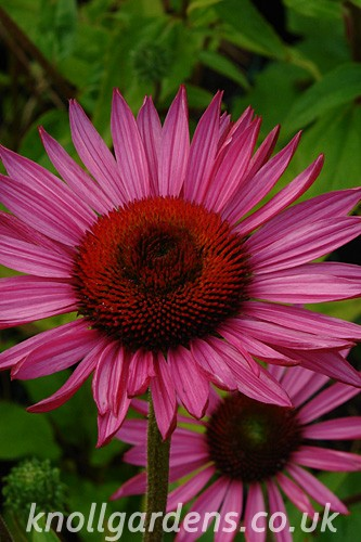 Echinacea-Ruby-Giant5854.jpg