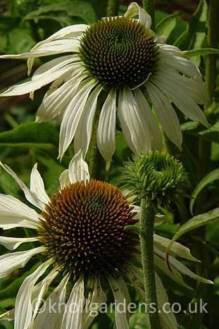 Echinacea-White-Swan938.jpg