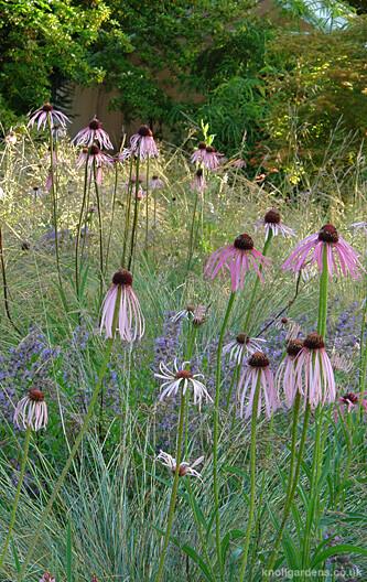 Echinacea pallida1837