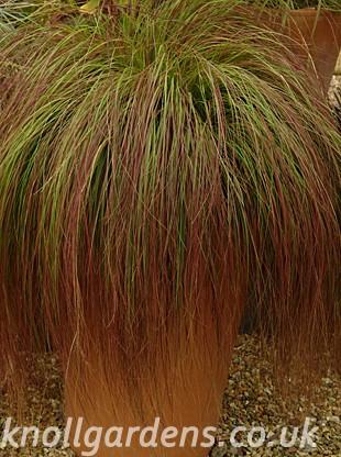 Eragrostis-Totnes-Burgundy2863.jpg