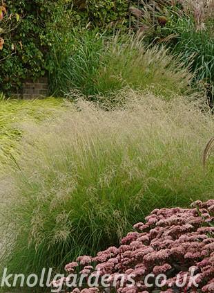 Eragrostis-curvula2381.jpg