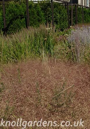 Eragrostis-spectabilis3622.jpg