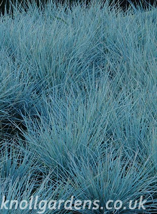 Festuca-Intense-Blue5740.jpg