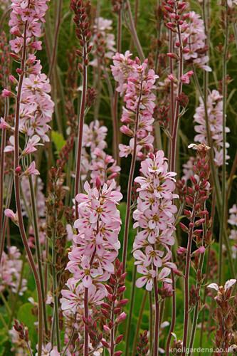 Francoa Pink Bouquet2165