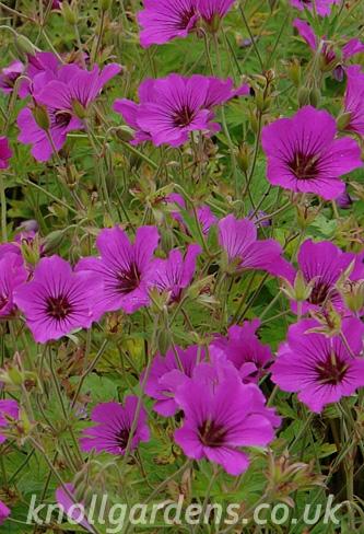 Geranium-Patricia2404.jpg