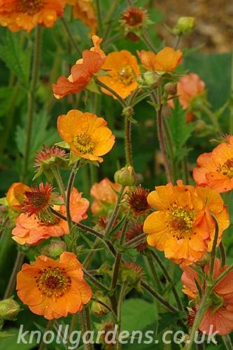 Geum-Totally-Tangerine2100.jpg