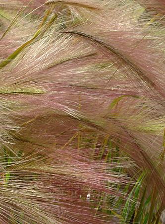 Hordeum-jubatum0162.jpg