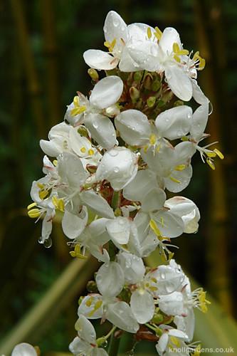 Libertia grandiflora4781