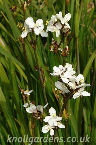 Libertia-grandiflora7819.jpg