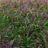 Liriope Muscari Knoll Gardens Ornamental Grasses And Flowering