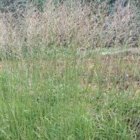 Molinia Arundinacea /'Transparent/' 2Ltr pot Batch of 4 No