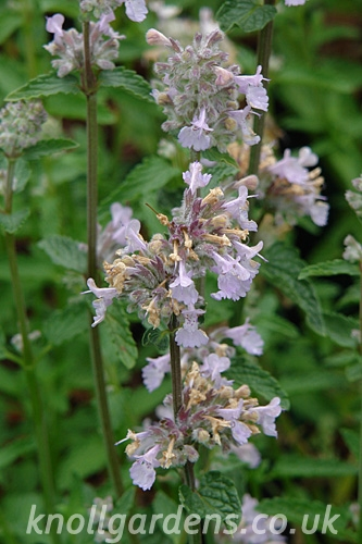 Nepeta-Crystal-Cloud2140.jpg