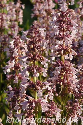 Nepeta-Dawn-to-Dusk3743.jpg
