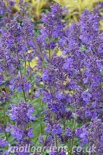 Nepeta-Hill-Grounds2030.jpg