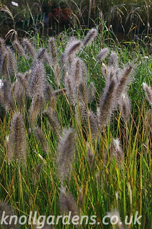 Pennisetum-Cassian-oct07.jpg