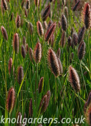 Pennisetum-Red-Buttons9616.jpg