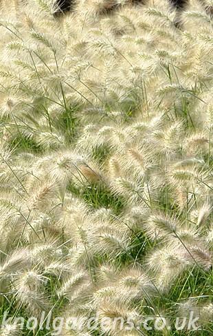 Pennisetum-villosum1498a.jpg