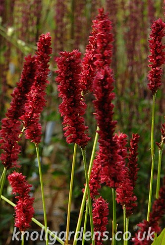 Persicaria-Fat-Domino1631a.jpg