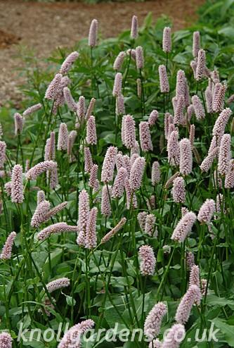 Persicaria Bistorta Superba Knoll Gardens Ornamental Grasses And