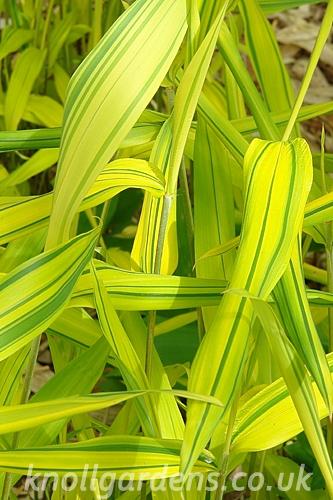 Pleioblastus-Viridistriatus7929.jpg