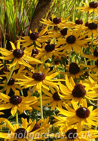 Rudbeckia-Little-Gold-Star9311.jpg