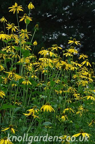 Rudbeckia-laciniata2125.jpg