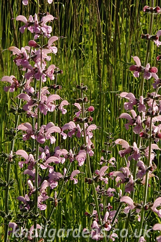 Salvia-Eveline8171.jpg