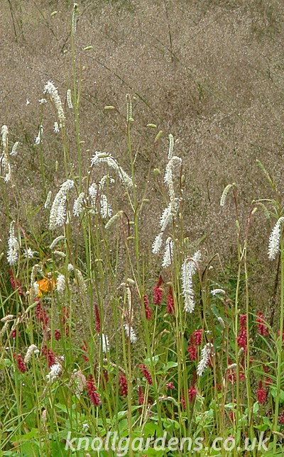 Sanguisorba-ten-Alba800.jpg