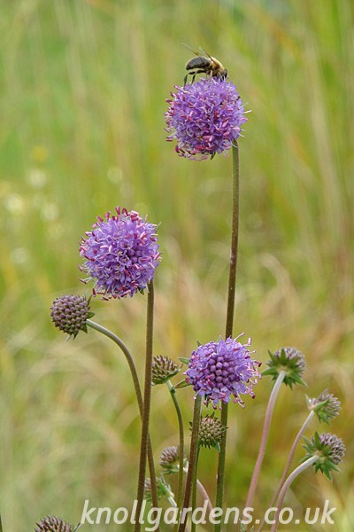 Scabious-blue-species2741.jpg