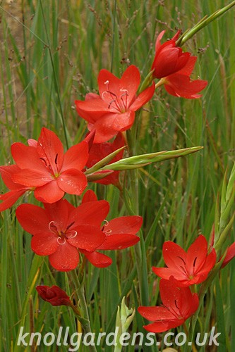 Schizostylis-Major6184.jpg