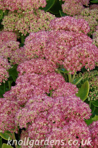 Sedum-Autumn-Joy6056.jpg
