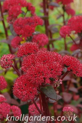 Sedum-Red-Cauli2683.jpg