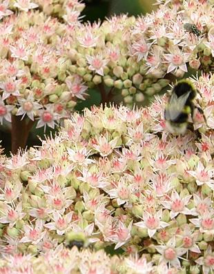 Sedum-Stewed-Rhubarb2719.jpg