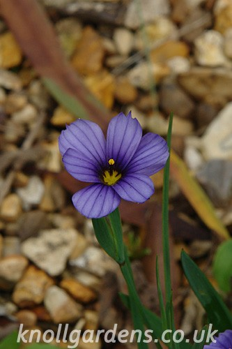 Sisyrinchium-Californian-Skies840.jpg
