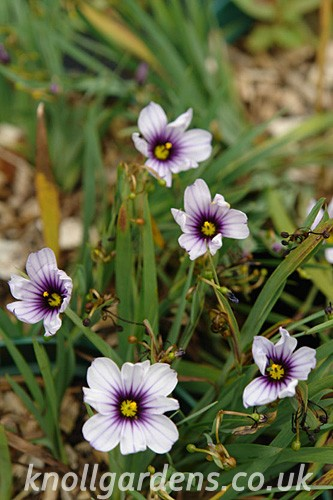 Sisyrinchium-Dragons-Eyes.jpg