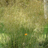Stipa gigantea Golden Oats 9cm pot Please Read Description