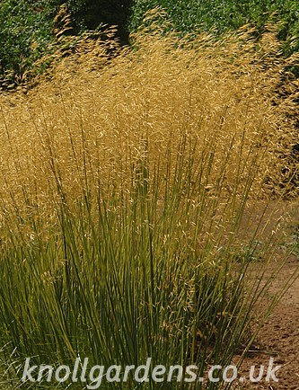 Stipa-Goldilocks9144.jpg