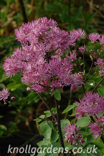 Thalictrum-Black-Stockings9467.jpg