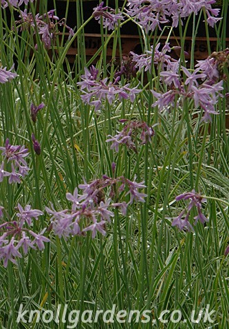 Tulbaghia-Silver-Lace0280.jpg