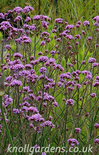 Verbena-Lollipop736.jpg