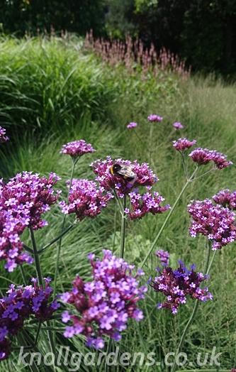 Verbena-bonariensis0230.jpg