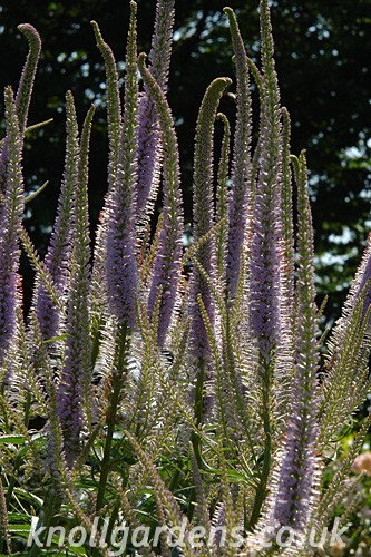 Veronicastrum-Lavendelturm5544.jpg