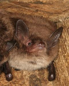 Bat walk Daubenton's bat photo courtesy of John J Kaczanowj copy