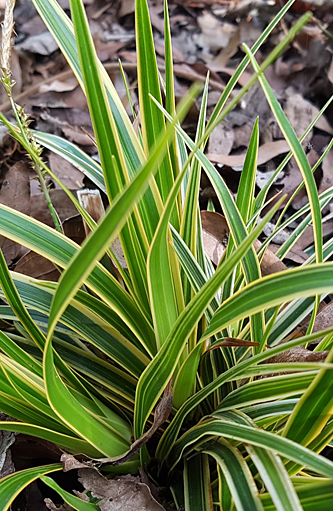 Carex Everglow24948