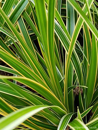 Carex Everglow44441a
