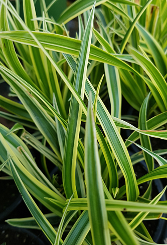 Carex Vanilla Ice084736