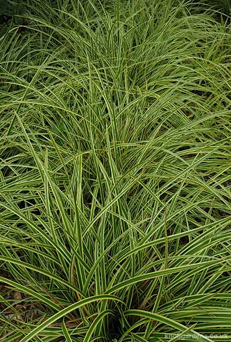 Carex Vanilla Ice112653
